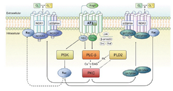 Figure-3-Mechanism-of-NOX12-activation-by-Ang-II-Ang-II-can-induce-the-assembly-of-the