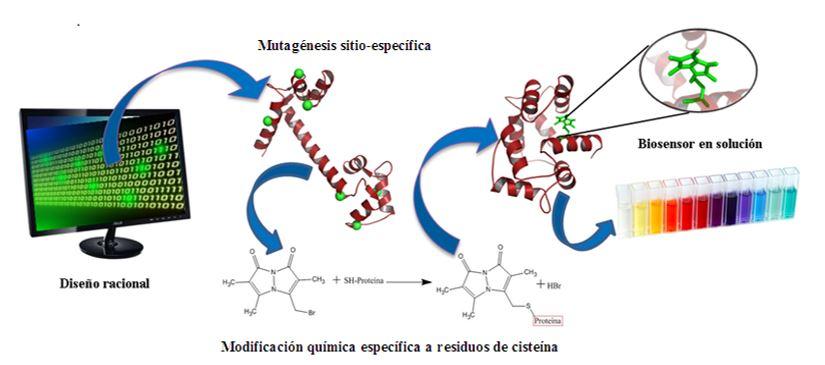 Figura 6. Procedimiento general para la construcción de biosensores usando un diseño racional, mutagénesis sitio-dirigida y marcaje sitio-especí